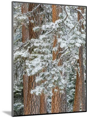 Snowy Pine Forest-Don Paulson-Mounted Giclee Print