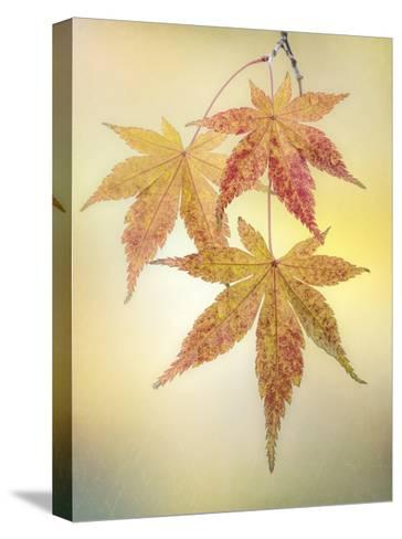 Japanese Maple Leaves-Don Paulson-Stretched Canvas Print