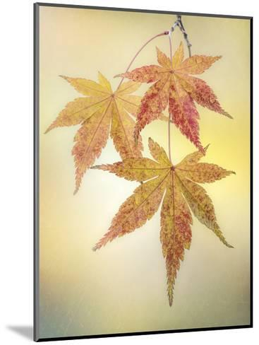 Japanese Maple Leaves-Don Paulson-Mounted Giclee Print