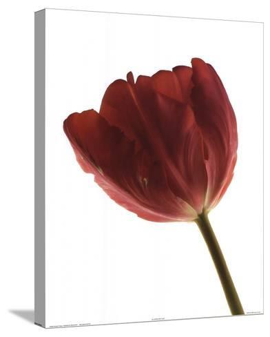 Red Tulip-Art Photo Pro-Stretched Canvas Print