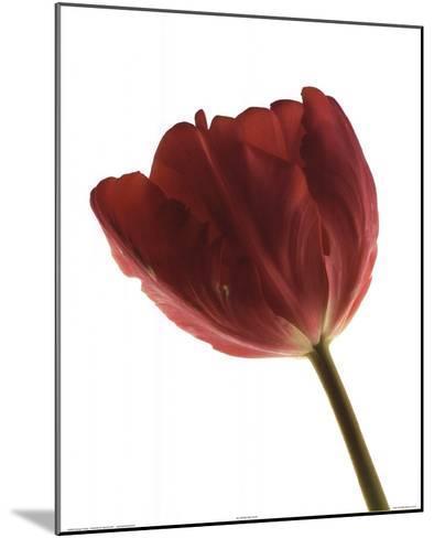Red Tulip-Art Photo Pro-Mounted Art Print