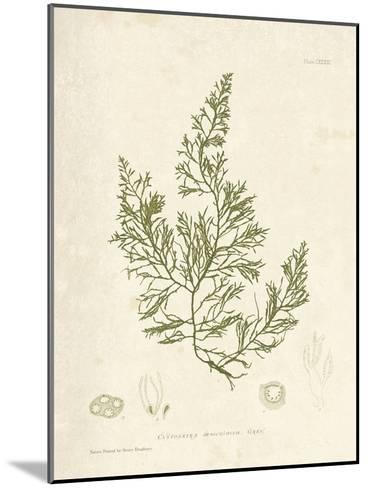 Cystoseira faeniculacea-Henry Bradbury-Mounted Giclee Print
