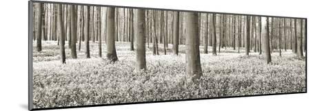 Beech forest with bluebells, Belgium-Frank Krahmer-Mounted Art Print