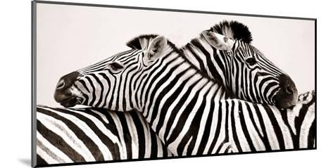 Zebras in love--Mounted Art Print