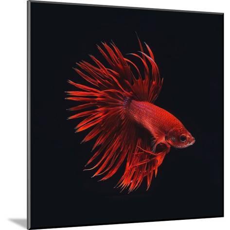 Red Betta Fish-PhotoINC Studio-Mounted Art Print
