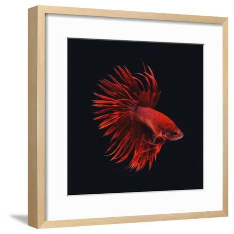 Red Betta Fish-PhotoINC Studio-Framed Art Print