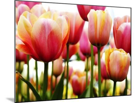 Tulips-PhotoINC Studio-Mounted Art Print