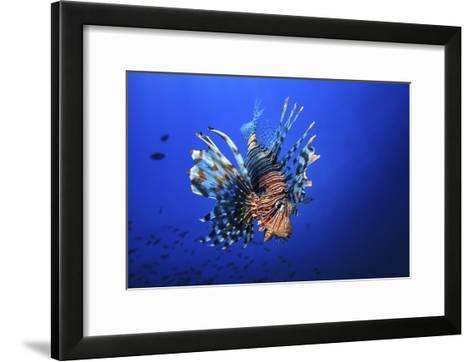 Lionfish-Barathieu Gabriel-Framed Art Print