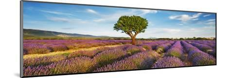 Lavender field and almond tree, Provence, France-Frank Krahmer-Mounted Giclee Print