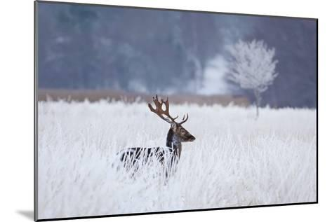 Fallow Deer In The Frozen Winter Landscape-Allan Wallberg-Mounted Giclee Print