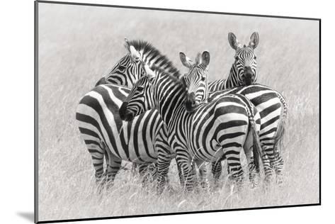 Zebras-Kirill Trubitsyn-Mounted Giclee Print