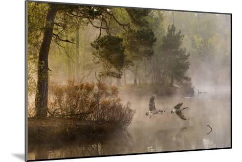 Goose Fight-Anton Van Dongen-Mounted Giclee Print