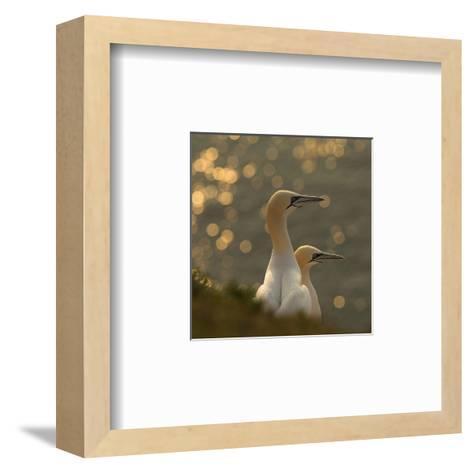 Gannets In Sunset-Karen Kolbeck-Framed Art Print