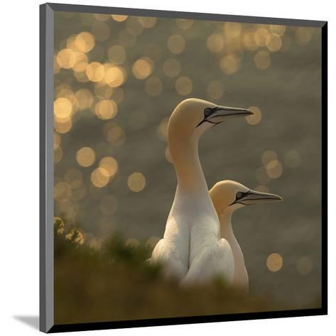 Gannets In Sunset-Karen Kolbeck-Mounted Giclee Print
