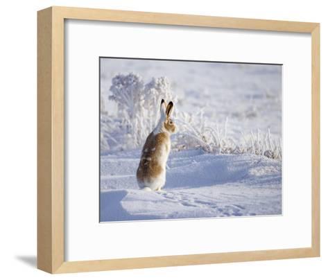 White-Tailed Jackrabbit-Shlomo Waldmann-Framed Art Print