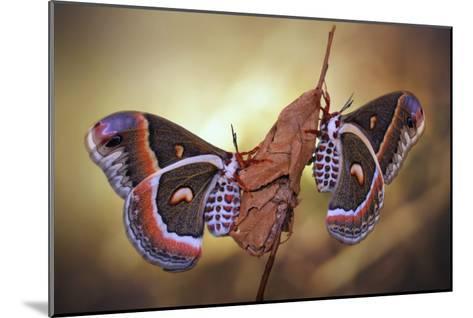 Robin Moths-Jimmy Hoffman-Mounted Giclee Print