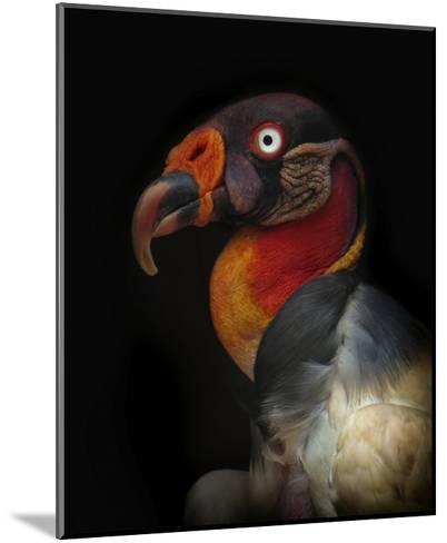 King Vulture-Sarcoramphus Papa-Ferdinando Valverde-Mounted Giclee Print