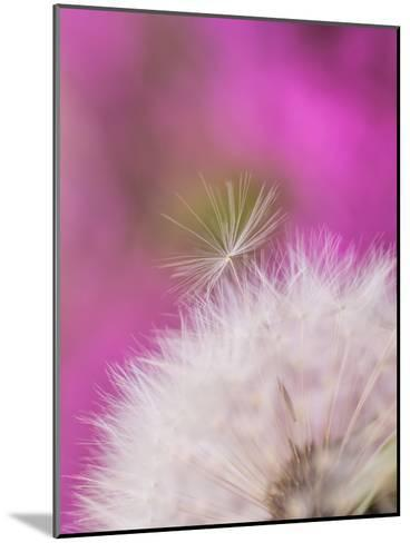 Dandelion Seedhead Flower 3-Grab My Art-Mounted Art Print
