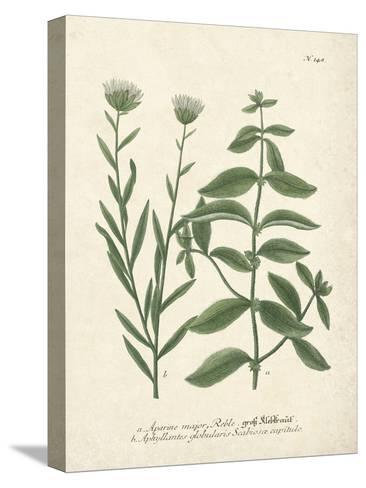 Botanica Aparine Major-The Vintage Collection-Stretched Canvas Print