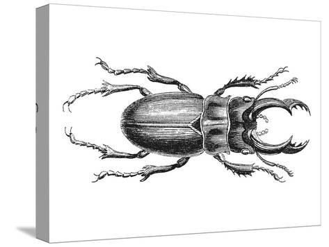 Stag Beetle 2-Lebens Art-Stretched Canvas Print