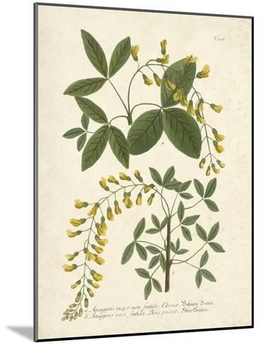 Botanica Anagyris-The Vintage Collection-Mounted Art Print