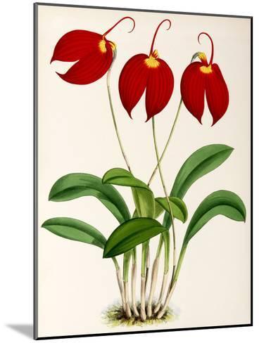 Fitch Orchid Masdevalliaignea- New York Botanical Garden-Mounted Art Print