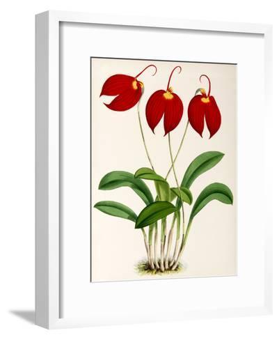 Fitch Orchid Masdevalliaignea- New York Botanical Garden-Framed Art Print