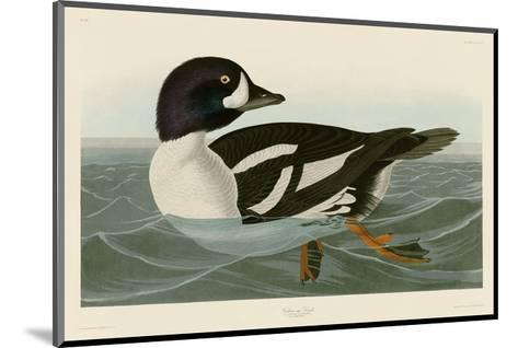 Golden-eye Duck-John James Audubon-Mounted Art Print