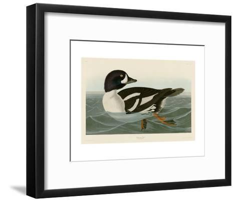 Golden-eye Duck-John James Audubon-Framed Art Print