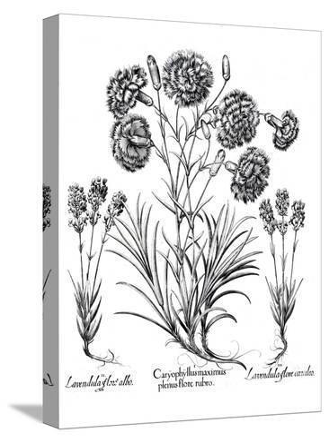Besler 11- New York Botanical Garden-Stretched Canvas Print
