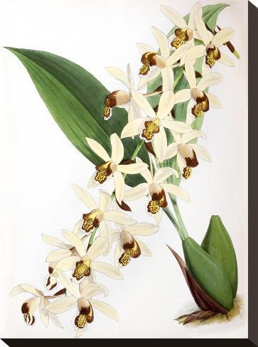 Fitch Orchid Caelogyne Massangena- New York Botanical Garden-Stretched Canvas Print