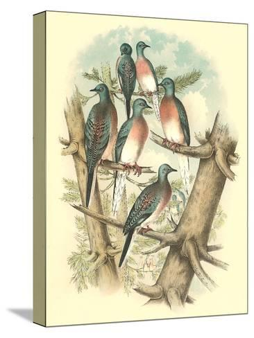 Pink-Breasted Doves-Found Image Press-Stretched Canvas Print