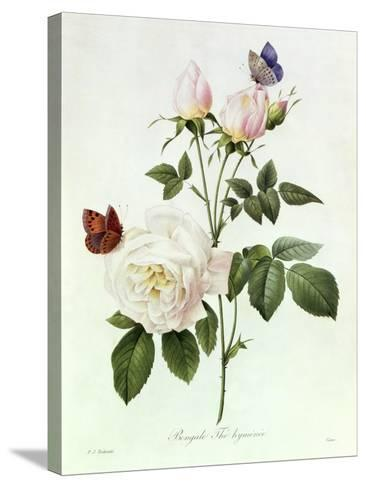 Rosa Bengale the Hymenes-Pierre-Joseph Redout?-Stretched Canvas Print