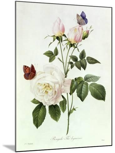 Rosa Bengale the Hymenes-Pierre-Joseph Redout?-Mounted Giclee Print