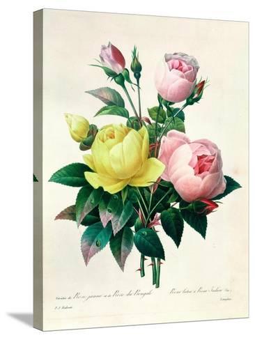 """Rosa Lutea and Rosa Indica, from """"Les Choix Des Plus Belles Fleurs,"""" 1827-Pierre-Joseph Redout?-Stretched Canvas Print"""