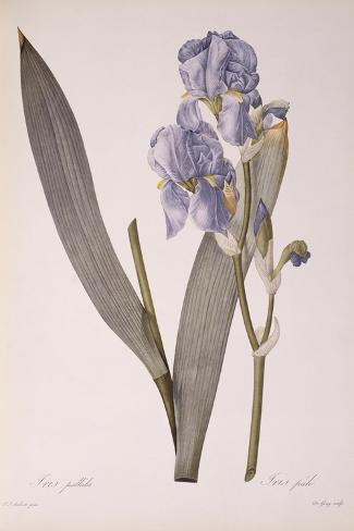 Iris Pallida, from Les Liliacees, 1812-Pierre-Joseph Redout?-Stretched Canvas Print