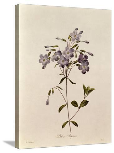 Phlox Reptans-Pierre-Joseph Redout?-Stretched Canvas Print