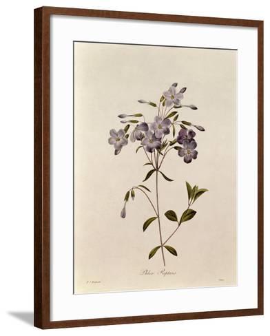 Phlox Reptans-Pierre-Joseph Redout?-Framed Art Print