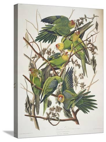 "Carolina Parakeet, from ""Birds of America,"" 1829-John James Audubon-Stretched Canvas Print"
