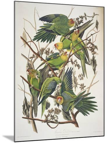 "Carolina Parakeet, from ""Birds of America,"" 1829-John James Audubon-Mounted Giclee Print"