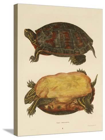 Hand Colored Lithograph of Emrys Rubriventris-John Edwards Holbrook-Stretched Canvas Print