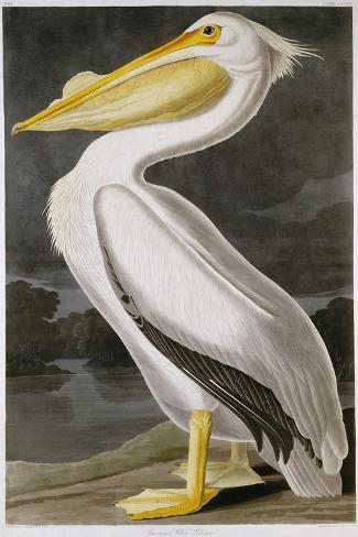 American White Pelican-John James Audubon-Stretched Canvas Print
