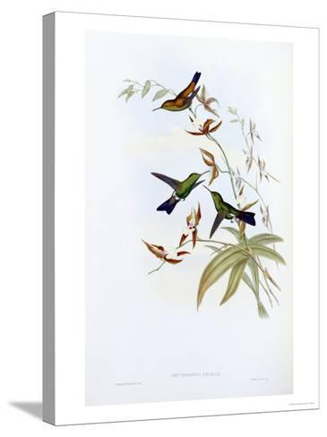 A Monograph of the Trochilidae or Family of Hummingbirds, Published 1849-1861-John Gould-Stretched Canvas Print
