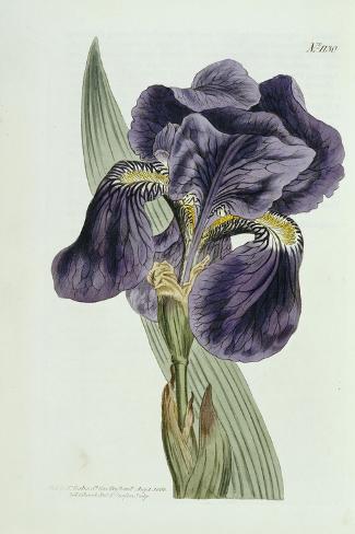 Iris-William Curtis-Stretched Canvas Print