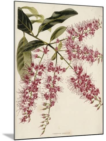 The Botanical Cabinet, Consisting of Coloured Delineations of Plants from All Countries-Conrad Loddiges-Mounted Giclee Print