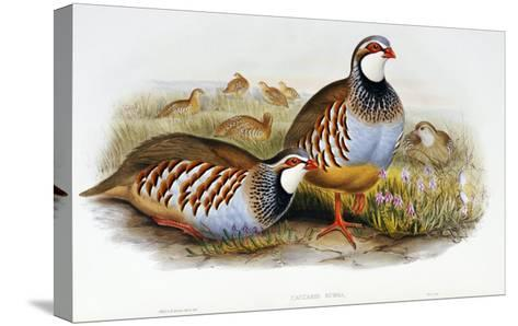 Red Legged Partridges (Caccabis Rubra)-John Gould-Stretched Canvas Print