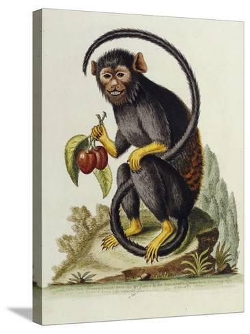A Little Black Monkey Brought from the West Indies by Commodore Fitzroy Lee-George Edwards-Stretched Canvas Print