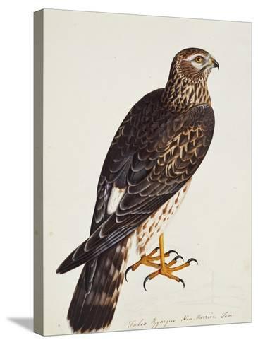 Falco Pygargus, Hen-Harrier, Fem-Christopher Atkinson-Stretched Canvas Print