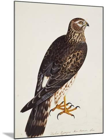Falco Pygargus, Hen-Harrier, Fem-Christopher Atkinson-Mounted Giclee Print