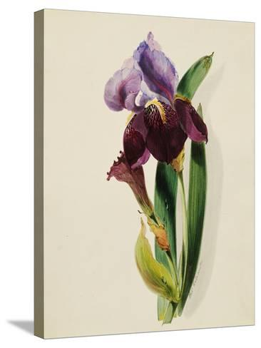 A Flag Iris-Thomas Holland-Stretched Canvas Print